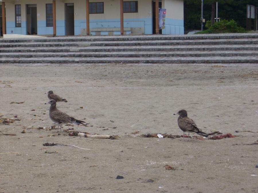 浜辺を歩くウミネコ