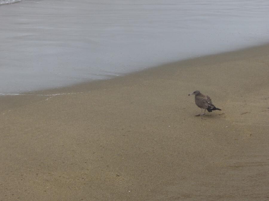 大須賀海岸のウミネコ