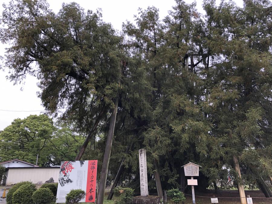 必勝カヤの木