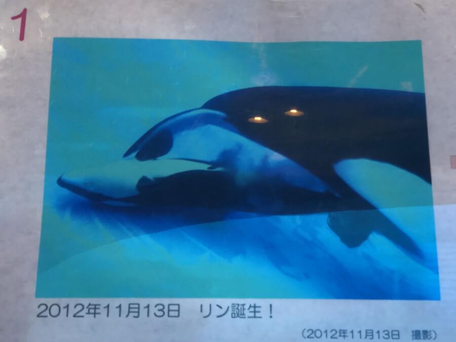 シャチのリンが誕生した写真|名古屋港水族館
