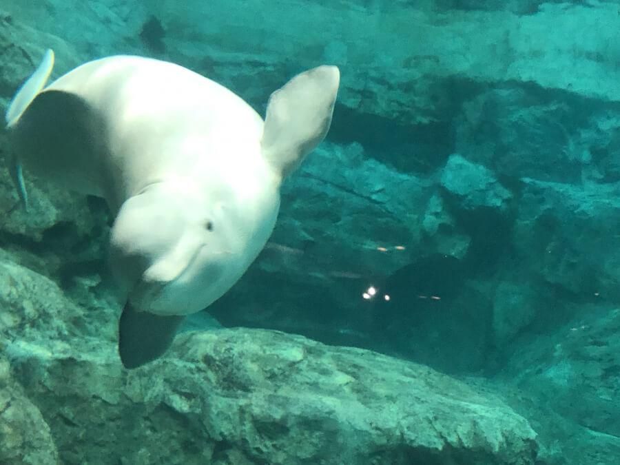 ベルーガ(シロイルカ)|名古屋港水族館