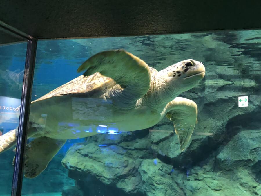ウミガメ|名古屋港水族館